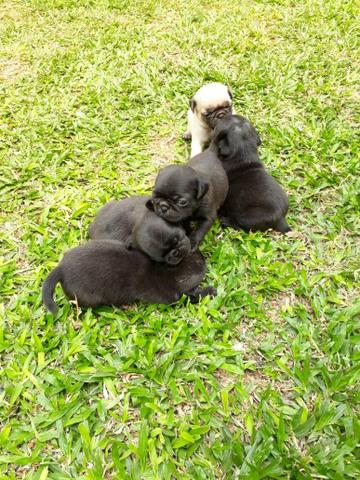 Cachorro pug - Foto 3