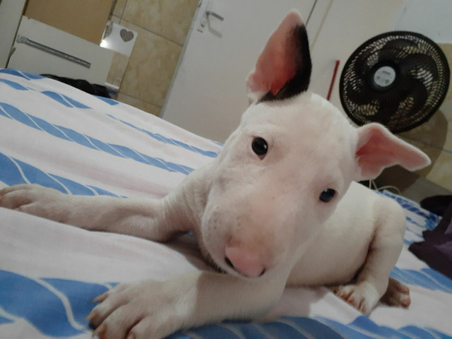""" Lindos filhotes de Bull terrier ?? - Foto 4"