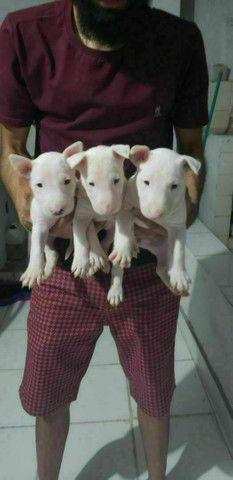 """ Lindos filhotes de Bull terrier ?? - Foto 3"