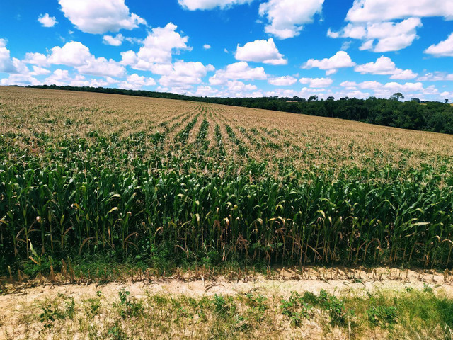 Silagem de milho - Foto 6