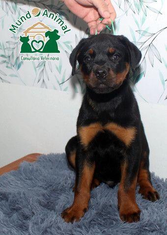 Rottweiler com pedigree CBKC - Foto 5