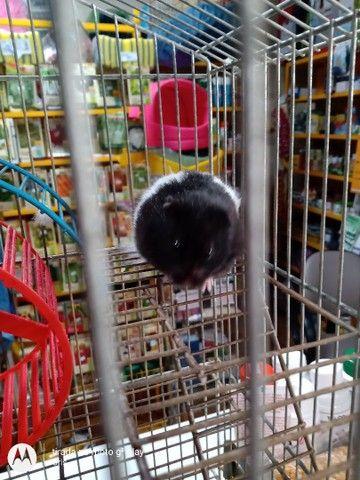 Hamster sírios - Foto 3
