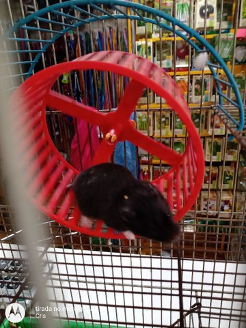 Hamster sírios