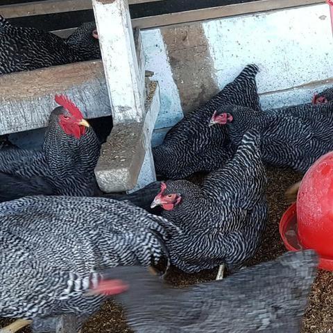 Ovos Galados de Plymouth Rock Barrado Carijó Gigante de raça pura - Foto 2
