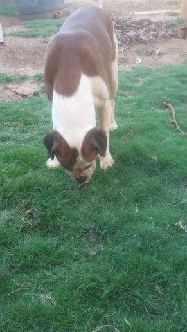 Filhotes de cachorro Boxer a venda - Foto 3