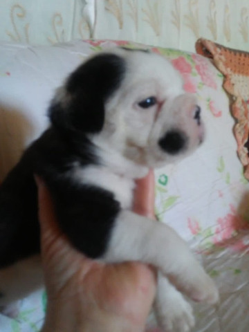 Vende-se filhotes Bulldog Francês - Foto 2