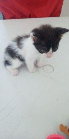 Gatinho Siamês quer um dono - Foto 4