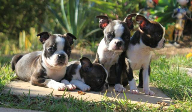 Lindos filhotes de Boston terrier!!!