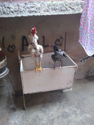 Vendo um casal um galo e uma galinha - Foto 2
