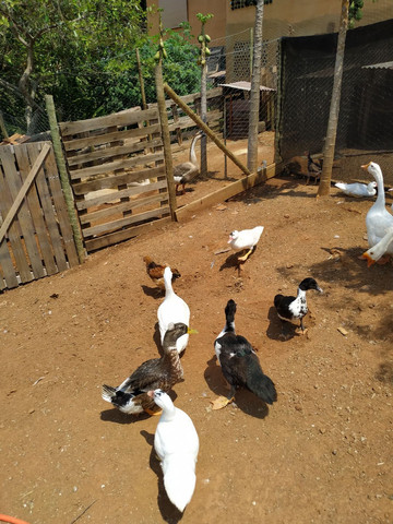 Patos Domésticos - Foto 3