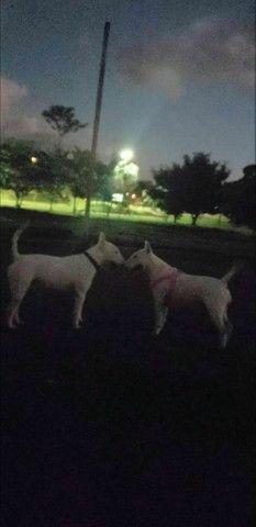 """ Lindos filhotes de Bull terrier ?? - Foto 6"