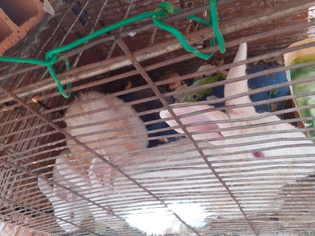 Casal de coelhos  - Foto 2