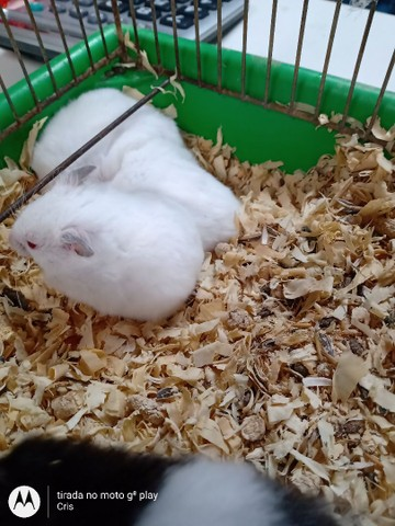 Hamster sírios - Foto 2