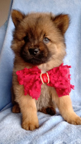Chow chow  - Foto 2