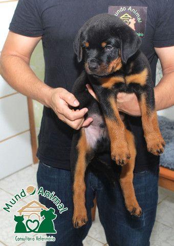 Rottweiler com pedigree CBKC - Foto 3