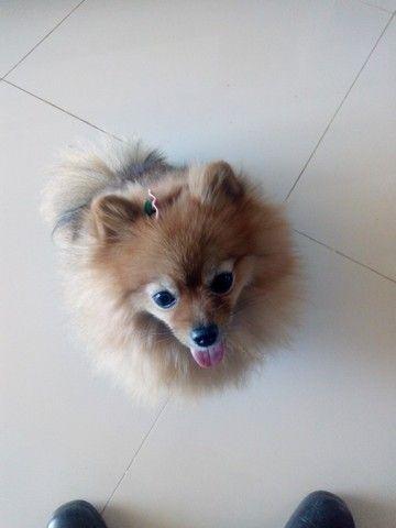 Adestramento Passeio com Cães Dog Walker Adestramento - Foto 4