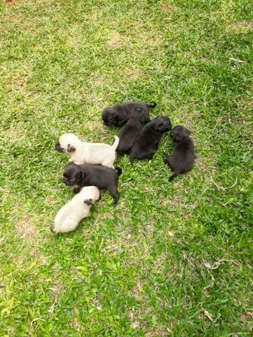 Cachorro pug - Foto 2
