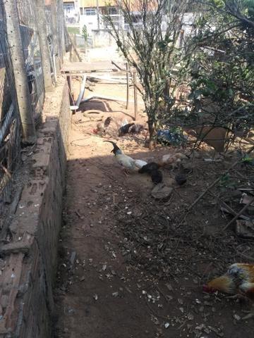 Vendendo galinhas