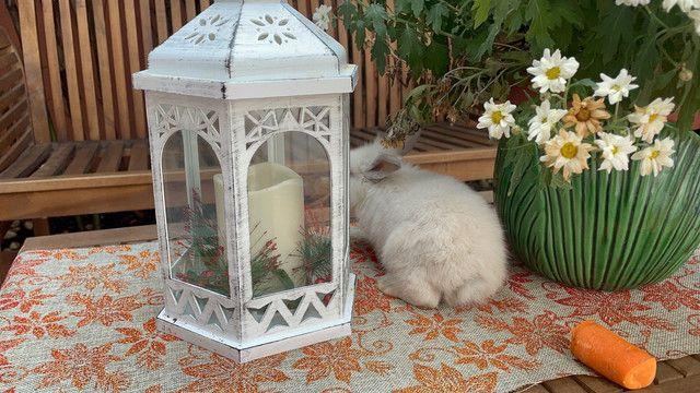 Filhote de mini lion branco  - Foto 4