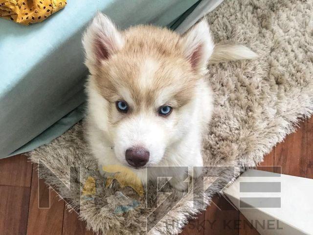 Husky Siberiano apaixone-se