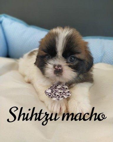 Neném Shih Tzu machinho!!!