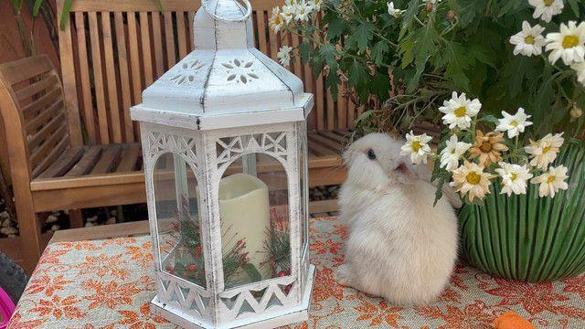 Filhote de mini lion branco  - Foto 5
