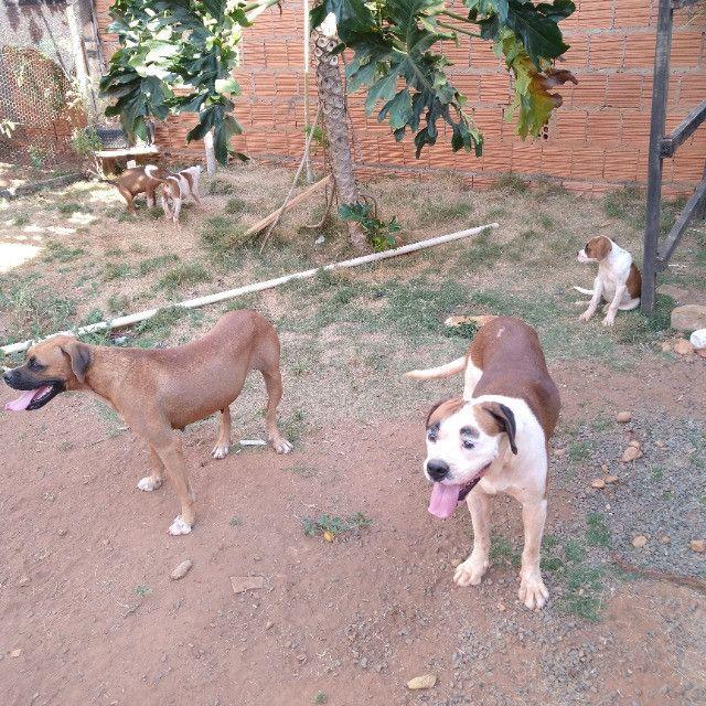Filhotes de cachorro Boxer a venda - Foto 5