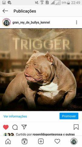 American bully Tricolor disponível para cruza  - Foto 4