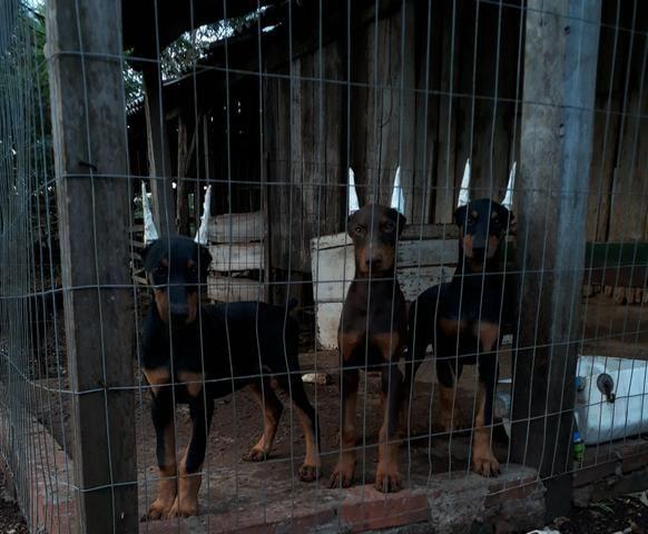 Filhotes de Dobermann - Foto 6