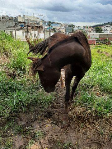Cavalo de sela  Mangalarga Marchador  - Foto 5