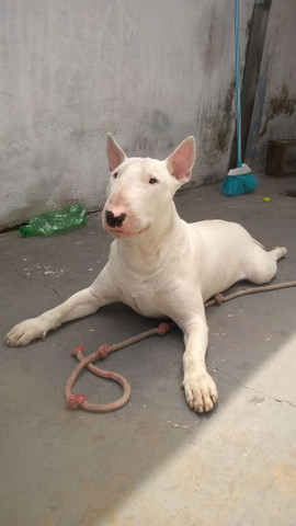 Bull Terrier com Pedigree para cobertura! - Foto 2