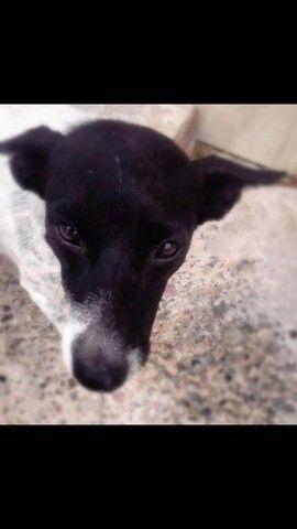 Adoção cachorro fêmea poete pequeno a médio carinhosa - Foto 5