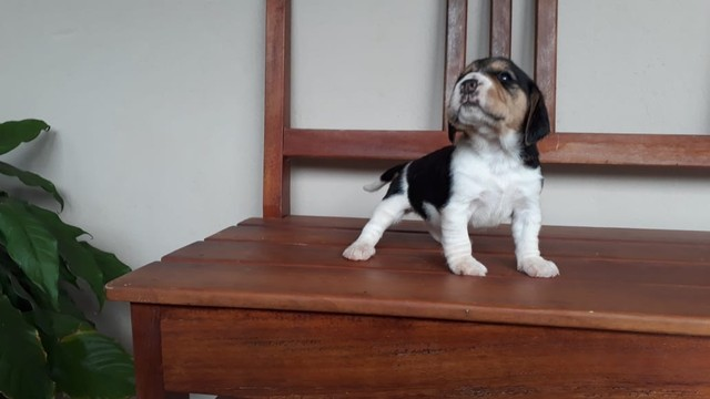 Beagle ingles / @canilcanaa/ PE - Foto 2