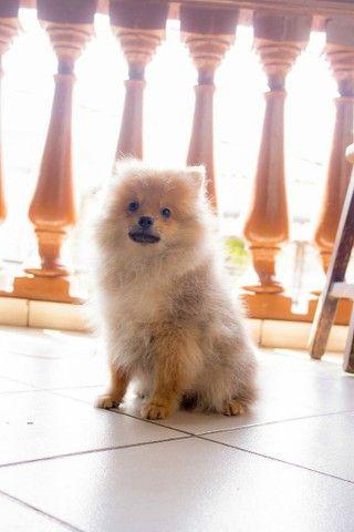 Vende se lindo filhote Macho de Spitz Alemão(Lulu da Polmerania) - Foto 4