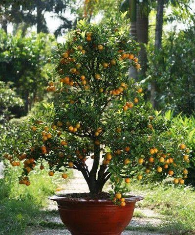 Lindas mini árvores frutíferas e ornamentais!!!