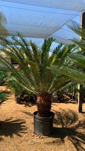 Reflorestamento e plantas paras jardins - Foto 4