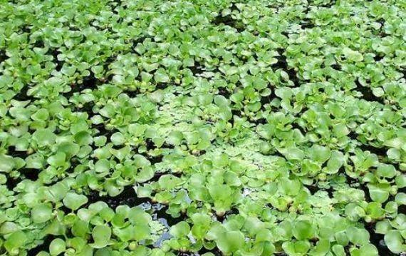 Planta aquática aguapé - Foto 3