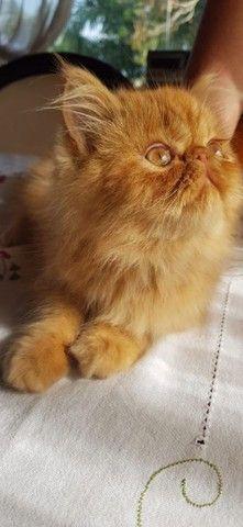 Persa Garfield Macho com 90 dias a venda. * - Foto 4