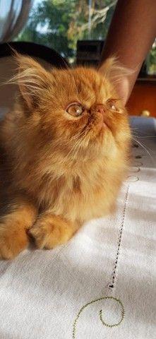 Persa Garfield Macho com 90 dias a venda. *