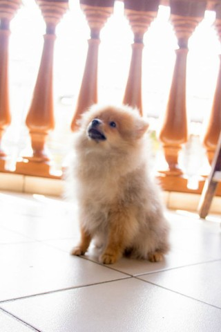 Vende se lindo filhote Macho de Spitz Alemão(Lulu da Polmerania) - Foto 2