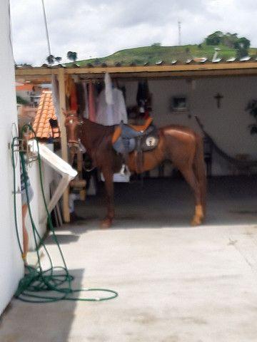 Cavalo de sela  Mangalarga Marchador  - Foto 2