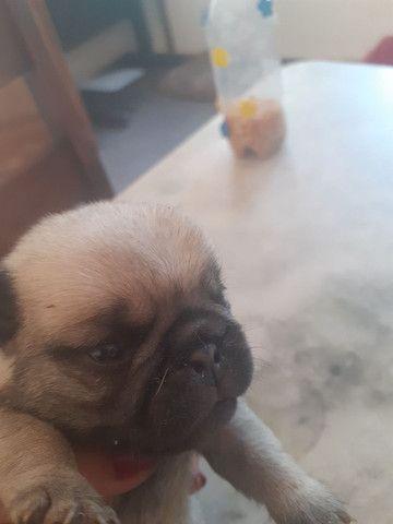 Filho de Pug - Foto 6