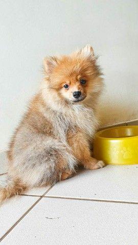 Vende se lindo filhote Macho de Spitz Alemão(Lulu da Polmerania) - Foto 3