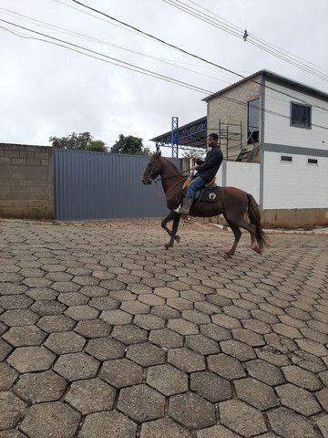 Cavalo de sela  Mangalarga Marchador  - Foto 4
