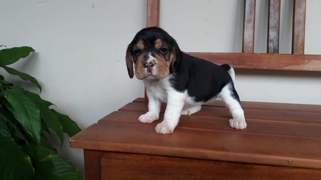 Beagle ingles / @canilcanaa/ PE - Foto 5