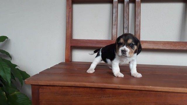 Beagle ingles / @canilcanaa/ PE