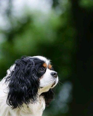 Cavalier King Charles Spaniel padrão fiel da raça disponíveis - Foto 6