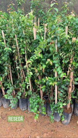 Reflorestamento e plantas paras jardins - Foto 6