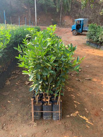 Produção de plantas - Foto 2