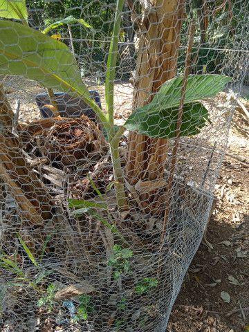 Banana da Terra Orgânica - Foto 4